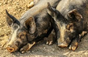 pigs-202000_1280